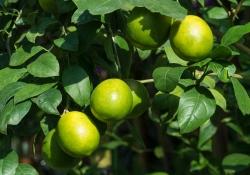 O Poder da Cura do Limão